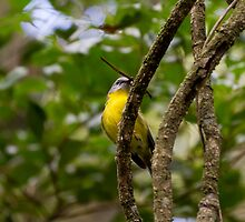 Eastern Yellow Robin by Ray Fowler