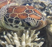 Green Sea Turtle by Kymbo