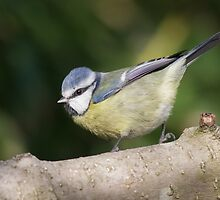 Blue Tit by shaftinaction