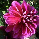 pink dahlia by Babz Runcie