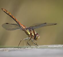 Common Darter by shaftinaction