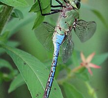 Dagonlet dragonfly up close by jozi1