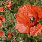 Poppies Time by sorinab
