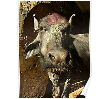Water Buffalo with Dye on Head Poster