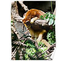 Sleeping Tree Kangaroo Poster