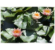 Tropical Day-Flowering Waterlilies, peach, yellow,  Poster
