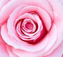 Pink Rose by Lin-Ann Anantharachagan