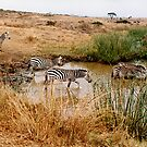 Zebra's at the waterhole by steppeland