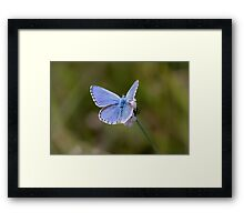 Adonis Blue Framed Print