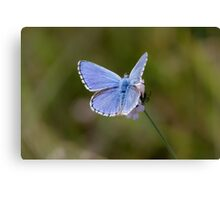 Adonis Blue Canvas Print