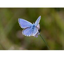 Adonis Blue Photographic Print