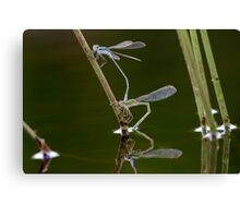 Emerald Damselflies Canvas Print