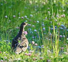 Grouse in Clover by JennaKnight