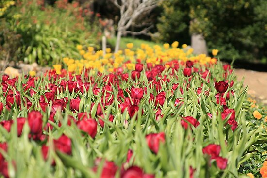 Araluen Tulips by Michelle Cocking