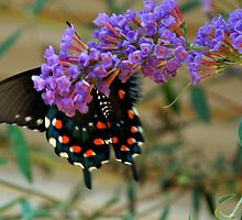 Black Swallow tail by Tracey Hampton