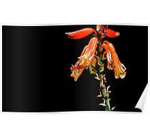 Aloe Vera in bloom Poster