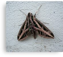 Sphinx Moth After Rain Canvas Print