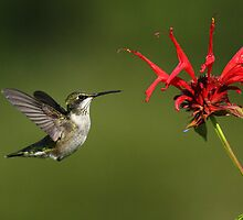 Ruby-throated Hummingbird and Bee Balm by Bill McMullen