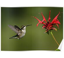 Ruby-throated Hummingbird and Bee Balm Poster
