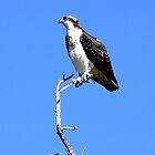 Osprey in Medicine Bow Ranges, Wyoming by Graeme  Hyde
