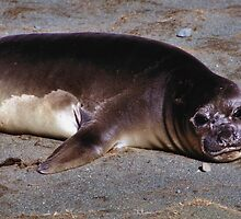 Southern Elephant Seal Pup, Macquarie Island  by Carole-Anne