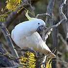 Sulphur-crested Cockatoo - Cacatua galerita by Andrew Trevor-Jones