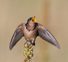 Barn Swallow on Mullein 8 by kurtbowmanphoto