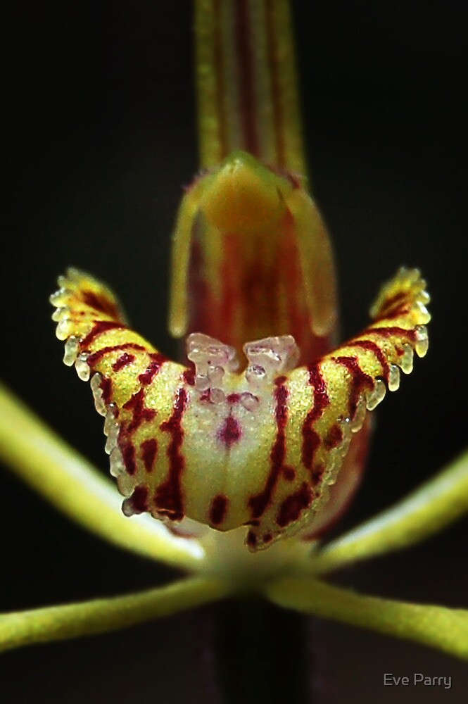 Primrose Spider Orchid - Caladenia xantha by Eve Parry