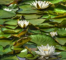 The Lily Pond by TheWalkerTouch