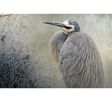 White Faced Heron Photographic Print