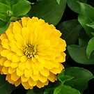 Yellow Zinnia by Shiju Sugunan