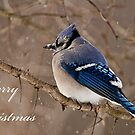 Christmas Card - Blue Jay 2 by Michael Cummings