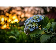 Hydrangea Sunset Photographic Print