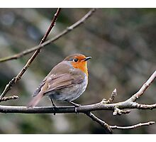 Robin on Tree  Branch. Photographic Print