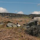 Stanage Sheep by Aggpup
