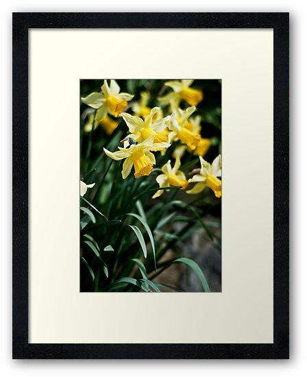 Daffodils by Oliver Bain