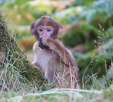 Barbary macaque snack time. by jem36