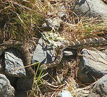 Northern Pacific Rattlesnake Pair by BettyEDuncan