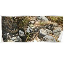 Northern Pacific Rattlesnake Pair Poster