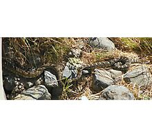 Northern Pacific Rattlesnake Pair Photographic Print