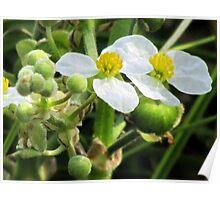 Broadleaf Arrowhead (Sagittaria latifolia)  Poster