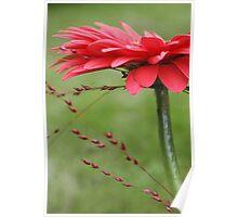 A fresh red gerbera close-up Poster