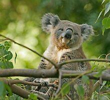 Smug Koala by tracilaw