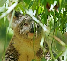 Koala in Eucalyptus leaves by tracilaw