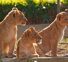 Three Lion Cubs in a Row by tracilaw