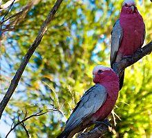 Garden Birds, Two Galahs  by Jaxybelle