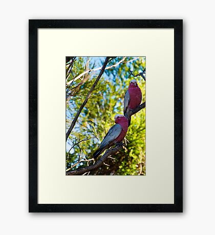 Garden Birds, Two Galahs  Framed Print