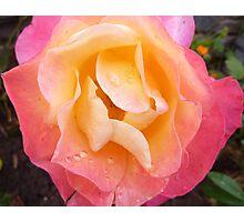 Bubblegum Coloured Rose Photographic Print