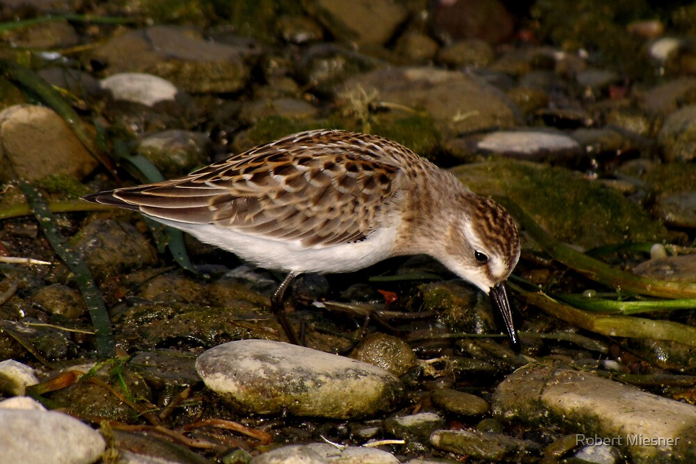Semipalmated Sandpiper Feeding on Rocky Shore by Robert Miesner