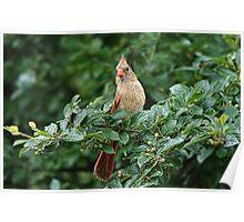 Cardinal (female) Poster